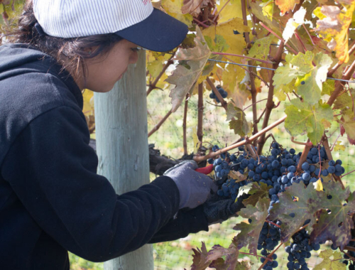Lariana cellars harvest closeup picking