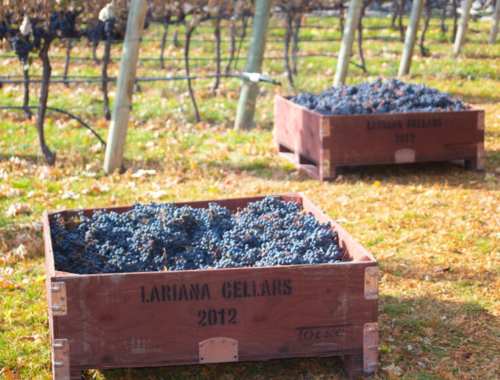 Lariana cellars harvest19 bins